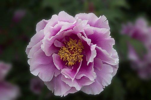 Garden, Flower, Blossom, Bloom, Peonie, Rose