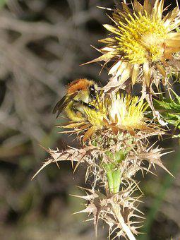 Bumblebee, Golden Bumblebee, Thistle, Libar, Thorns