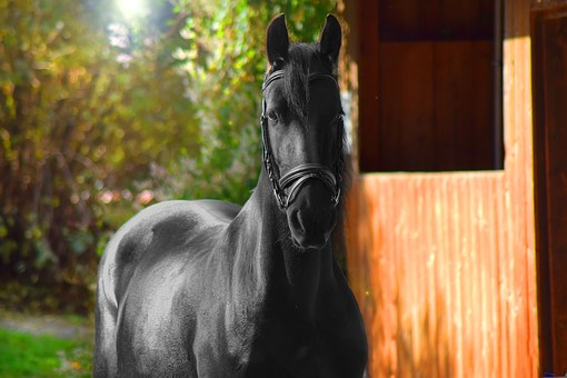 Horse, Stall, Animal, Friese, Ride, Horse Stable