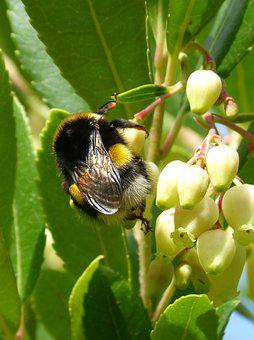 Bumblebee, Arbutus Flower, Libar, Insect, Drone, Detail
