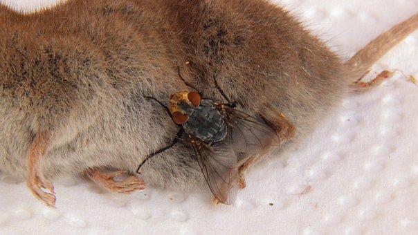 Carcass, Mouse, Shrew, Fly, Dead, Animal, Housefly