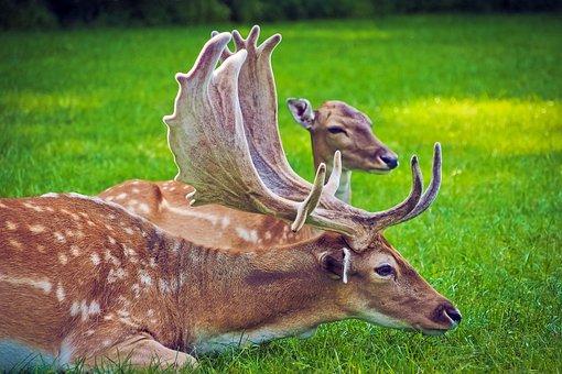 Hirsch, Damm Wild, Wild, Nature, Antler, Animal World