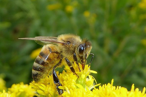 Bee, Bug, Insects, Bees, Nature, Macro, Yellow, Flower