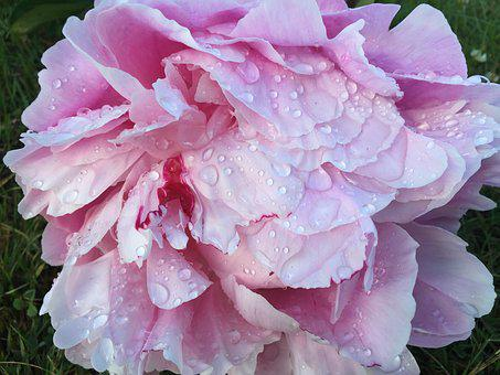 Rose, Dew, Flower, Big, Drops, Pink, Water, Nature