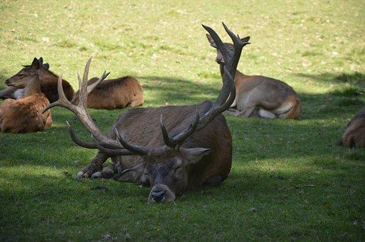 Hirsch, Animal, Antler, Wild, Nature, Roe Deer, Forest