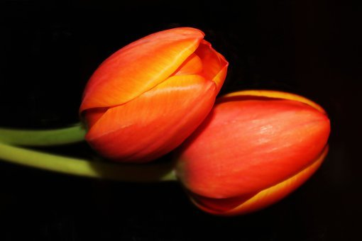 Painting, Oil Painting, Photo Painting, Tulips
