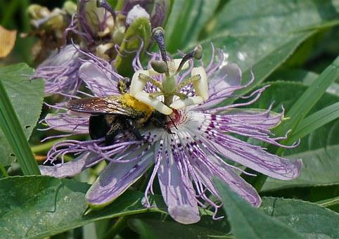 Passion Flower, Pollen-loaded Bumblebee, Flower