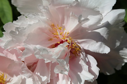 Peony, Chinese, Dendritic, Flower, Pink Petals, Spring