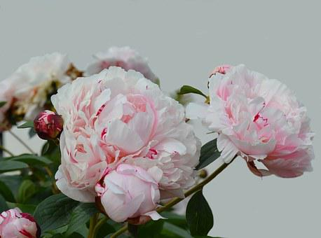 Peony, Blossom, Bloom, Pink, Flower, Double Flower