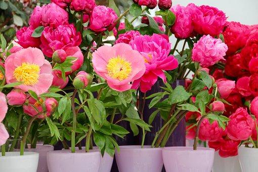 Paeonia, Peony, Blossom, Bloom, Pink