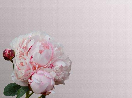 Peony, Pink, Paeonia, Blossom, Bloom, Pink Flower