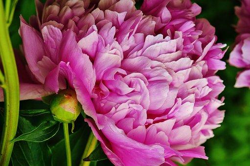 Peony, Flower, Pink, Blossom, Bloom, Nature, Close