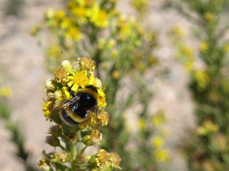 Bumblebee, Bombus Terrestris, Pollination, Flower