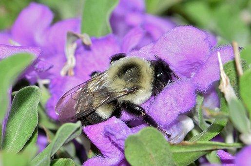 Bee, Bumblebee, Flowers, Purple Flowers, Barometer Bush
