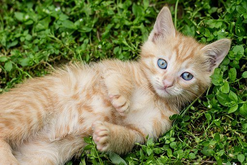 Tabby Kitten, Red Cat, Ginger Kitten, Young, Rescue