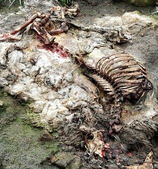 Sheep, Carcass, Rotten, Rib, Skull, Dead, Animal