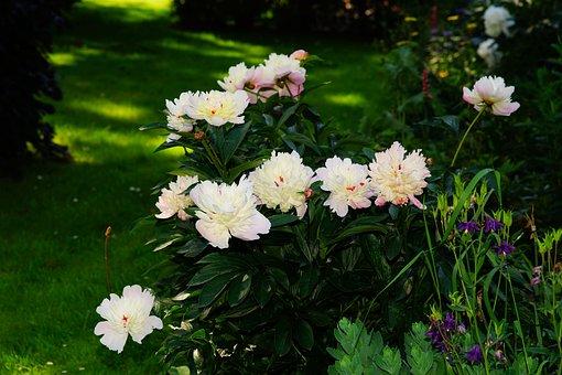 Flowers, Peony, Garden, Ornament, Splendor