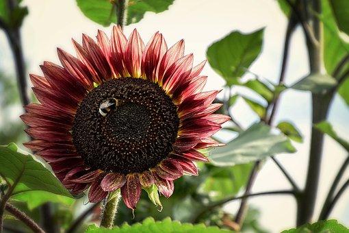 Sunflower, Flower, Summer, Yellow, Wallpaper