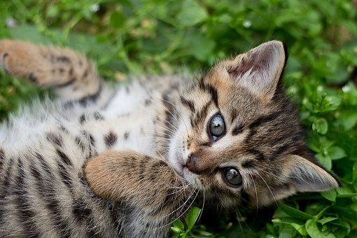 Tabby Kitten, Gray Kitten, Wild, Marking, Grey, Bengal
