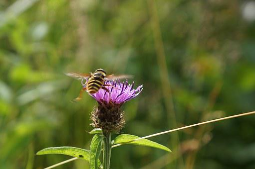 Thistle, Bee, Flower, Plant, Insect, Nature, Wild
