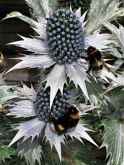 Ornamental Thistles, Bumblebees, Bluish, Umbelliferae