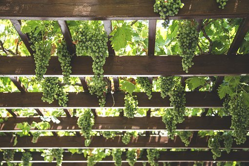Grapes, Hang, Vineyard, Green, Agriculture, Vine