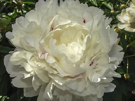 Flower, Peony, White, Paeonia