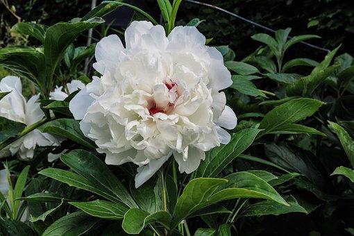 Peony, Paeonia, Blossom, Bloom, Shrub, White