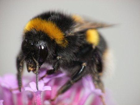 Bumblebee, Stripe, Sting, Wildlife, Bumble, Flora