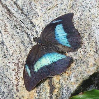 Blue Morpho, Butterfly, Blue, Wing, Morph Butterfly