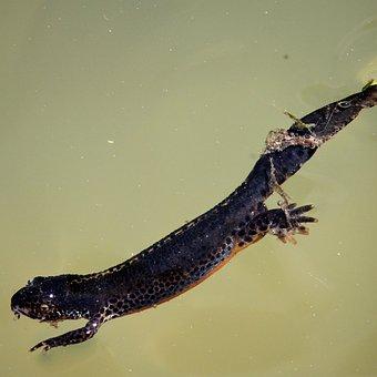 Alpine Newt, Salamander, Amphibian, Newt, Aquatic