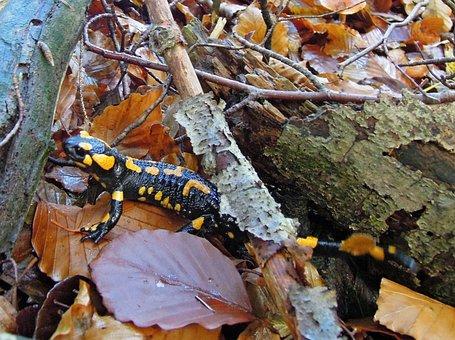 Upper Bavaria, Nature, Forest, Animal, Amphibian, Newt