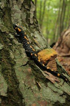 Fire Salamander, Salamander, Newt, Amphibian, Spotted