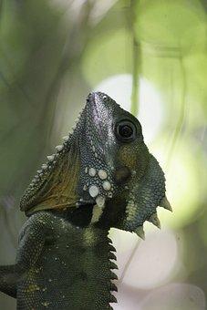 Chameleon, Animal, Australia