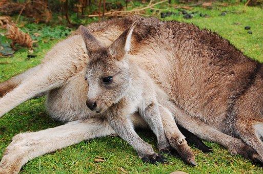 Wallaby, Kangaroo, Joey, Baby, Animal, Cute, Australia