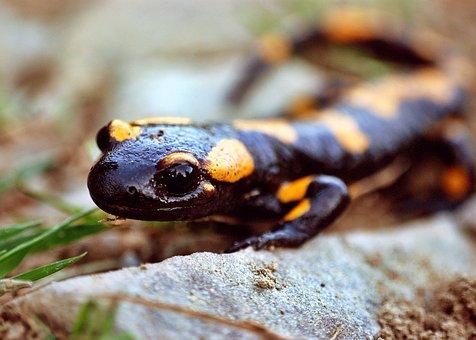 Salamander, Amphibian, Animal, Wild Animal, Mountains