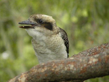 Laughing Kookaburra, Wildlife, Birds, Australia, Nature