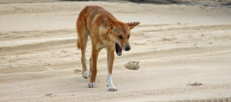 Dingo, Wild Animal, Beach, Australia, Fraser Island