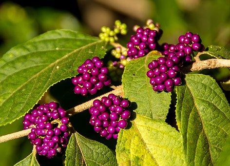 Velvet Leaf Shrub, Callicarpa Pendunculata, Berries