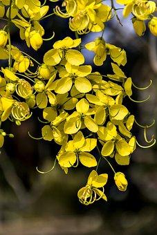 Golden Shower, Flower, Blossom, Blooming, Flexing