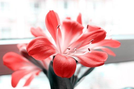 Clivia Miniata, Color Po, Flowers