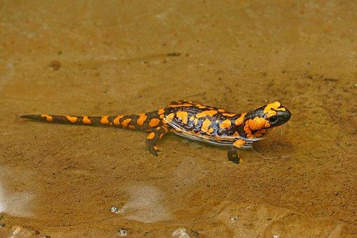 Fire Salamander, Lizard, Nature, Animals, Creature