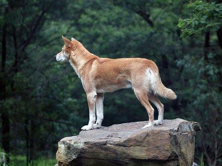 Dingo, Wild, Australia, Dog, Nature, Mammal, Predator