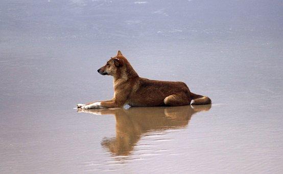 Dingo, Beach, Water, Fraser Island, Australia, Sand