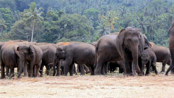 Elephant Orphanage, Elephants, Elephant Herd