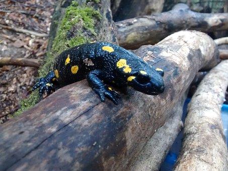 Fire Salamander, Tree, Black, Yellow, Salamander