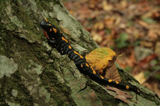 Salamander, Fire Salamander, Yellow, Black, Amphibian