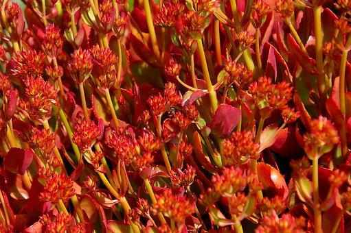 Succulent, Red, Orange, Flowers, Leaves, Foliage