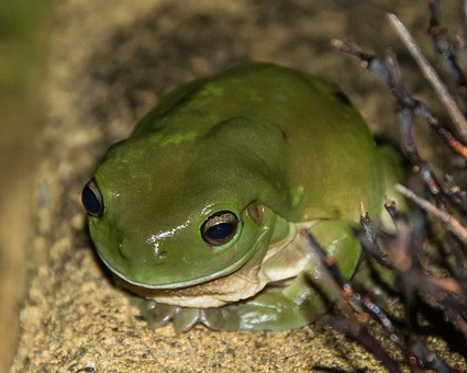 Green Tree Frog, Frog, Wildlife, Green, Queensland