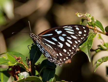 Tiger Blue Butterfly, Butterfly, Black, Blue, Insect